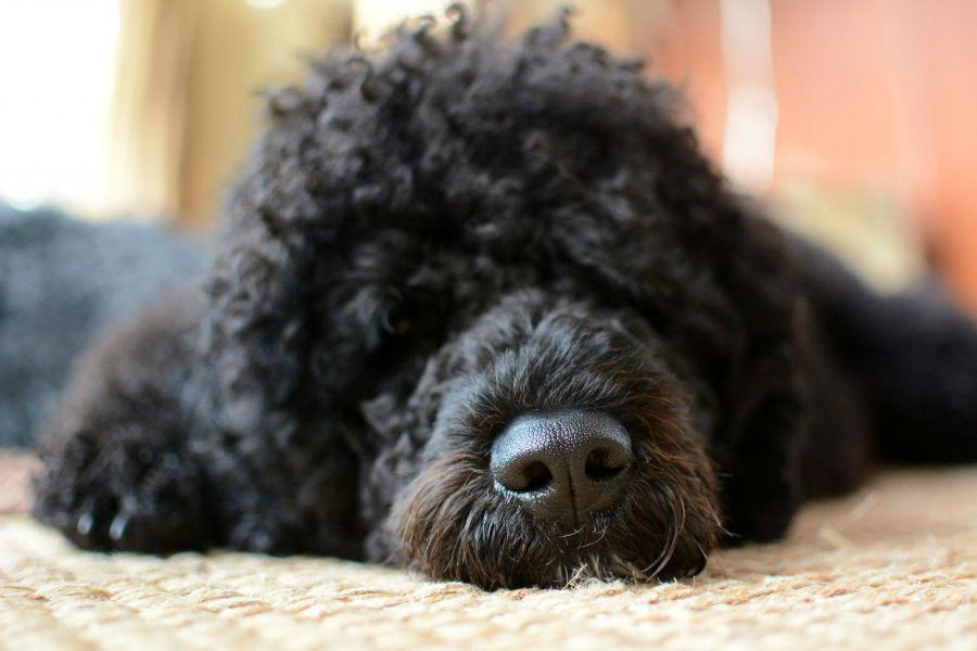 Raças de cachorro hipoalergênicas: Cão D'água português tirando uma soneca