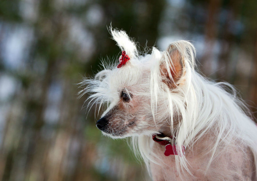 Raças de cachorro hipoalergênicos: Chinese Crested fêmea