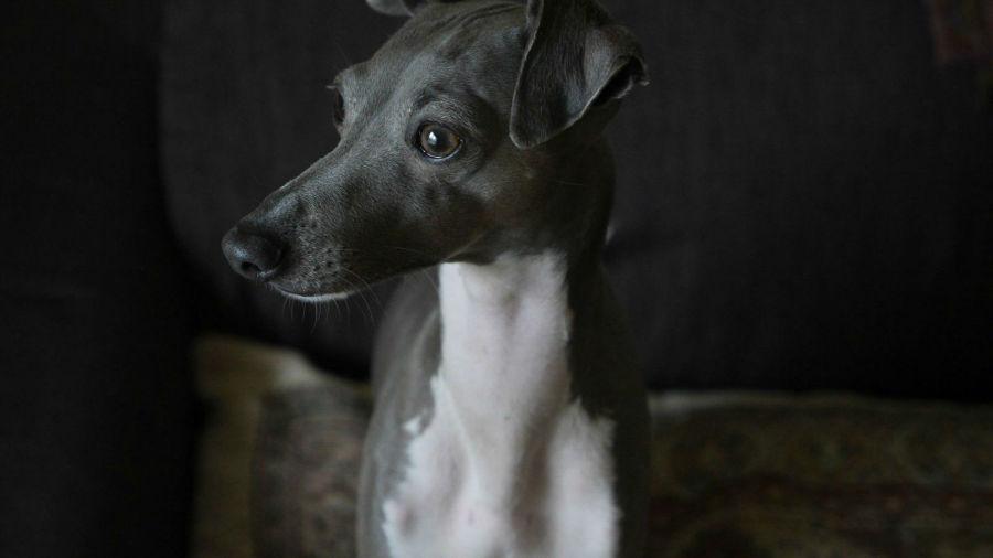 Raças de cachorro hipoalergênicas: Greyhound italiano cinza e branco