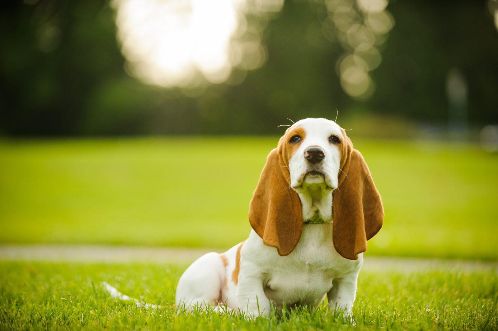 racas-popular-cachorro-arruinadas-basset-hound