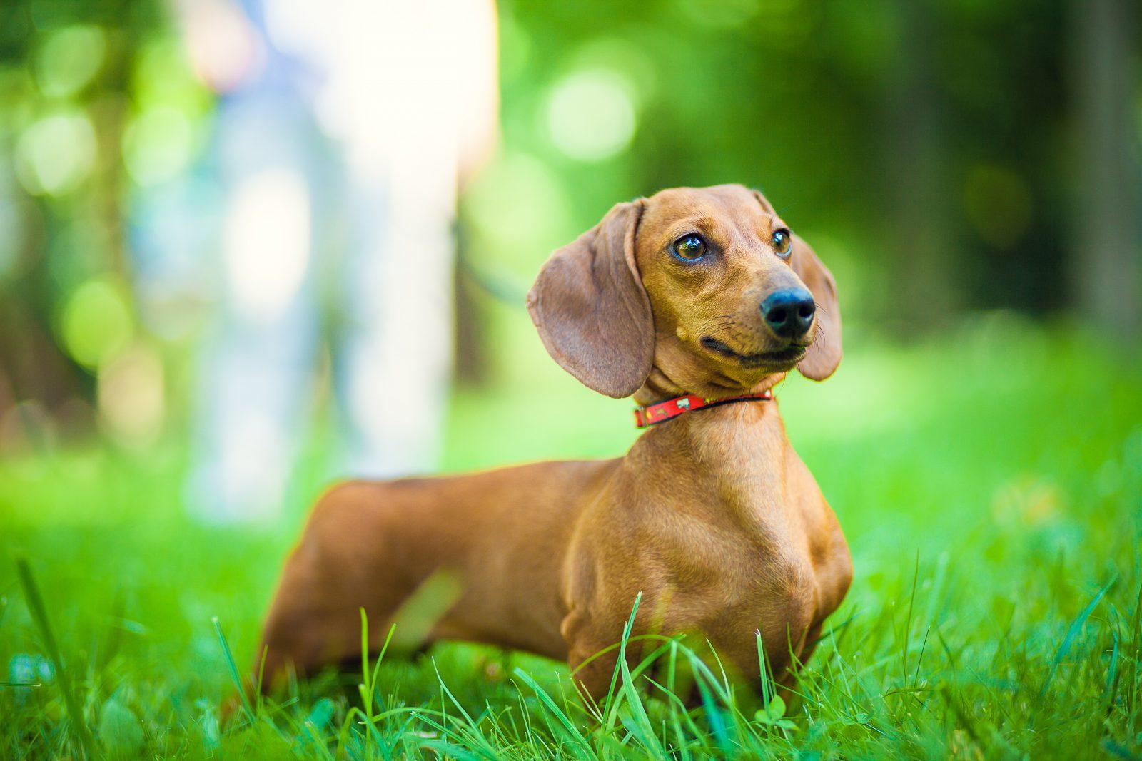 racas-popular-cachorro-arruinadas-dachshund