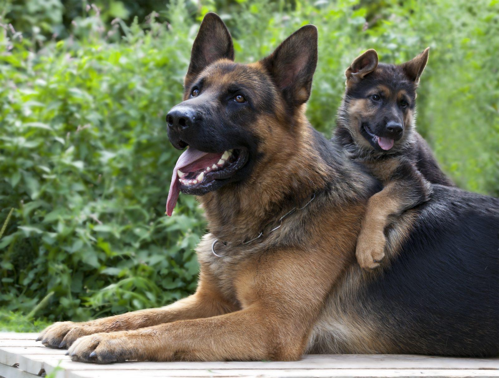 racas-popular-cachorro-arruinadas-pastor-alemao