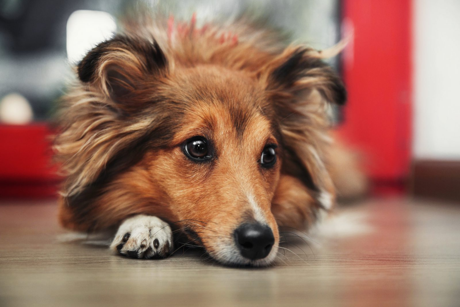 racas-popular-cachorro-arruinadas-pastor-shetland