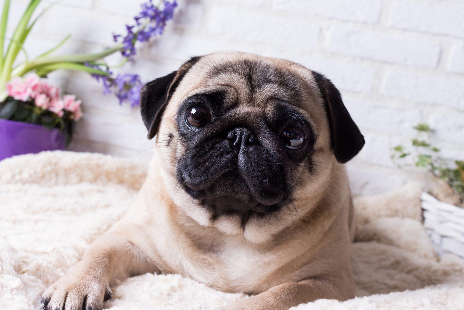 racas-popular-cachorro-arruinadas-pug