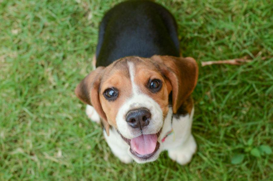 Cachorros mais vendidos: Divertido e travesso  filhote de Beagle sempre pronto para brincar no jardim