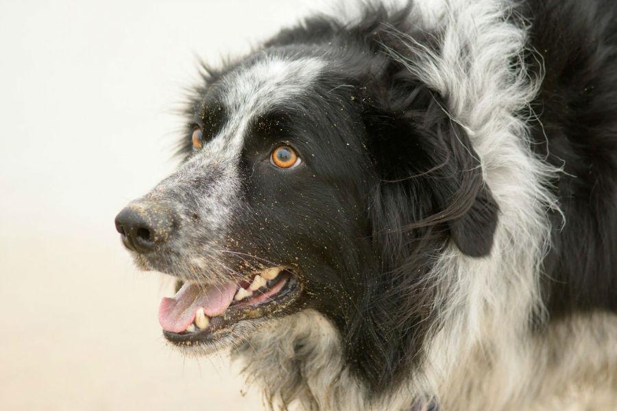Cachorros mais vendidos: Border collie castanho adulto como focinho sujo de areia.
