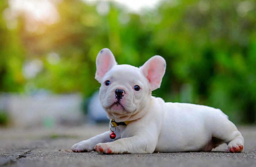 Cachorros mais vendidos: Buldogue francês albino filhote deitado no chão.