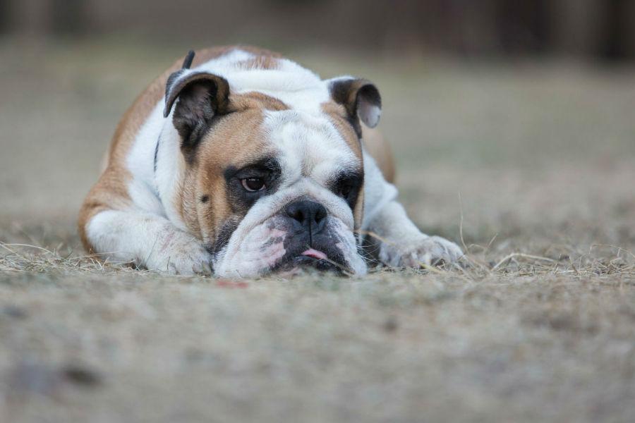 Cachorros mais vendidos: Buldogue inglês marrom e branco já em idade adulta deitado na grama seca.