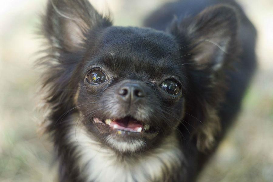 Cachorros mais vendidos: Chihuahua filhote bicolor de pêlos longos sorrindo.