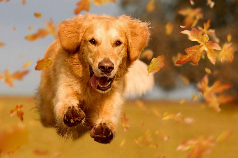 Cachorros mais vendidos: Golden Retriever correndo pelo parque entre folhas douradas de outono.