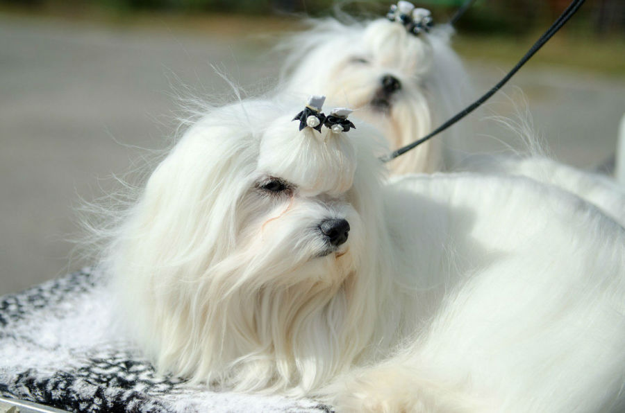 Cachorros mais vendidos: Dois Malteses fêmeas presos a coleira exibindo suas lindas pelagens macias e sedosas