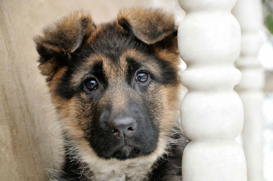 Cachorros mais vendidos: Filhote de Pastro Alemão com cerca de 6 meses de idade.