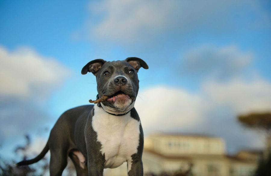 Cachorros mais vendidos: O destemido Pit Bull Americano terrier já adulto com um graveto na boca.