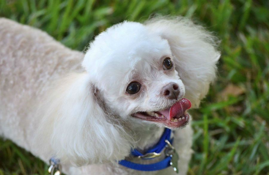 Cachorros mais vendidos: Poodle mini branco de pêlo tosado