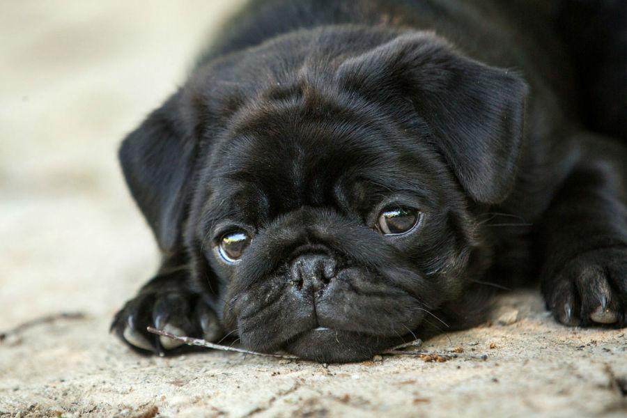 Cachorros amis vendidos: Pug pretinho deitado no chão.