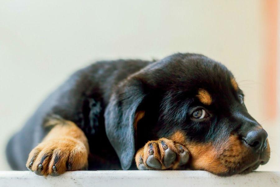 Cachorros mais vendidos: Rottweiller filhote fofinho deitado