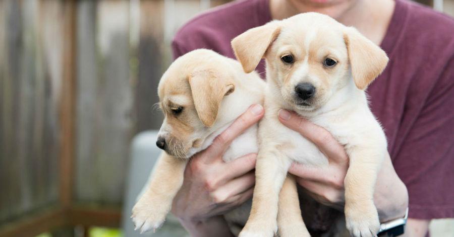 Cachorros mais vendidos: pessoa segurando dois filhotes de labradores champagne