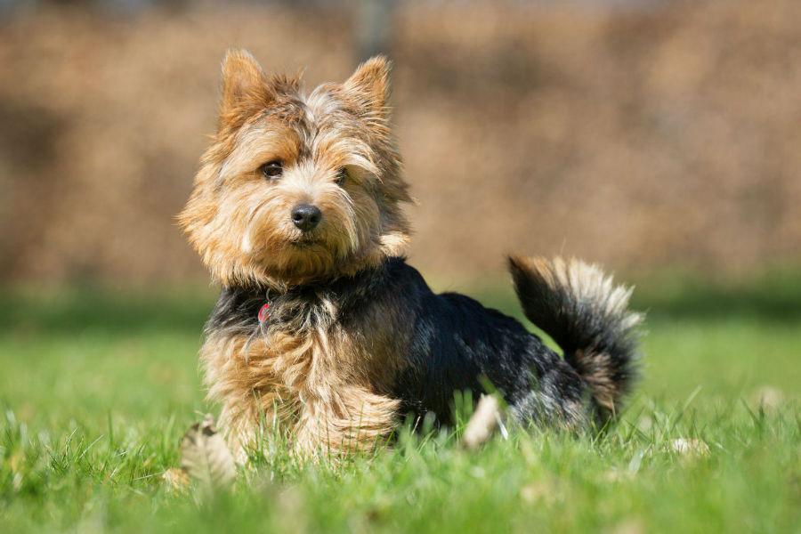 Cachorro mais vendido: Yorkshire filhote de pelos longos na grama do jardim.