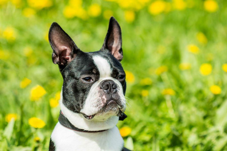 racas-visadas-boston-terrier