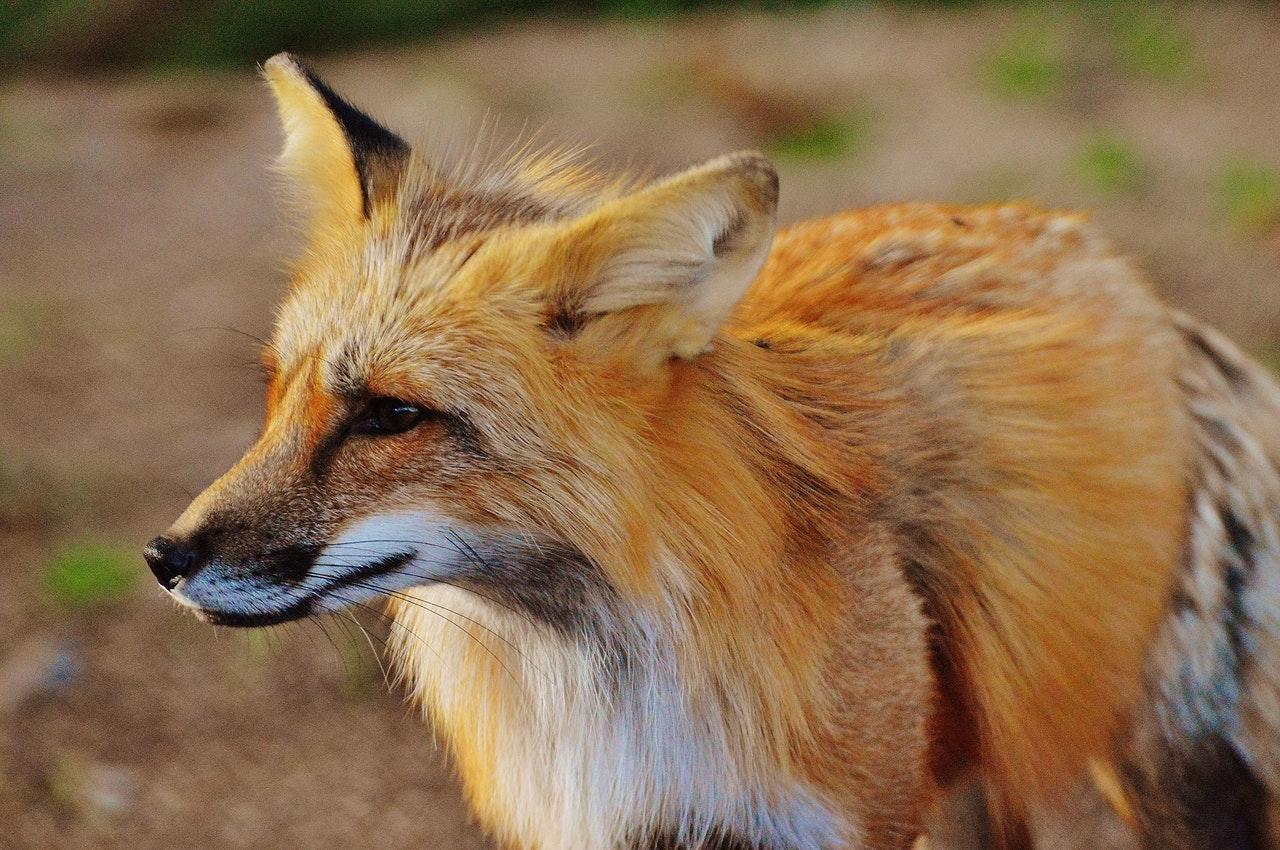 A raposa é um animal mamífero vertebrado.