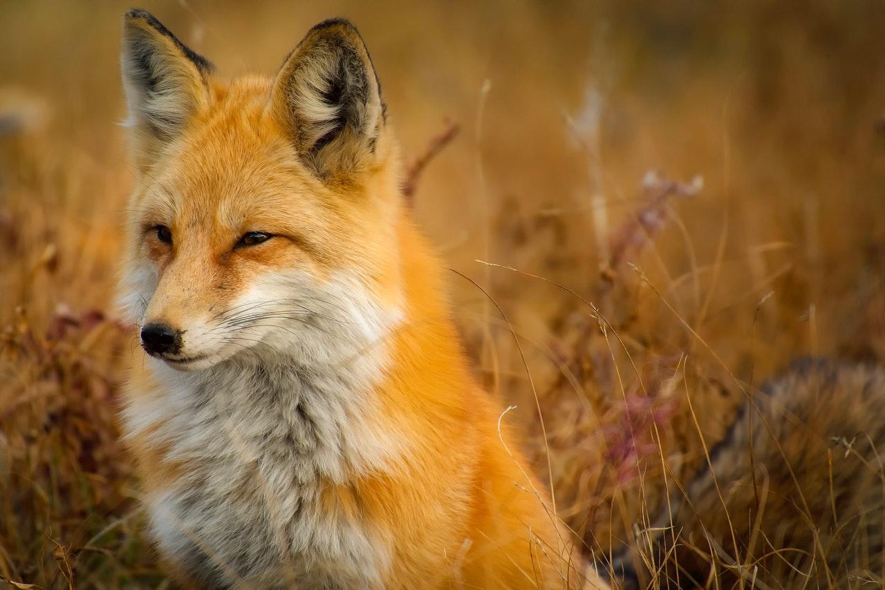 A raposa já foi personagem de várias lendas.