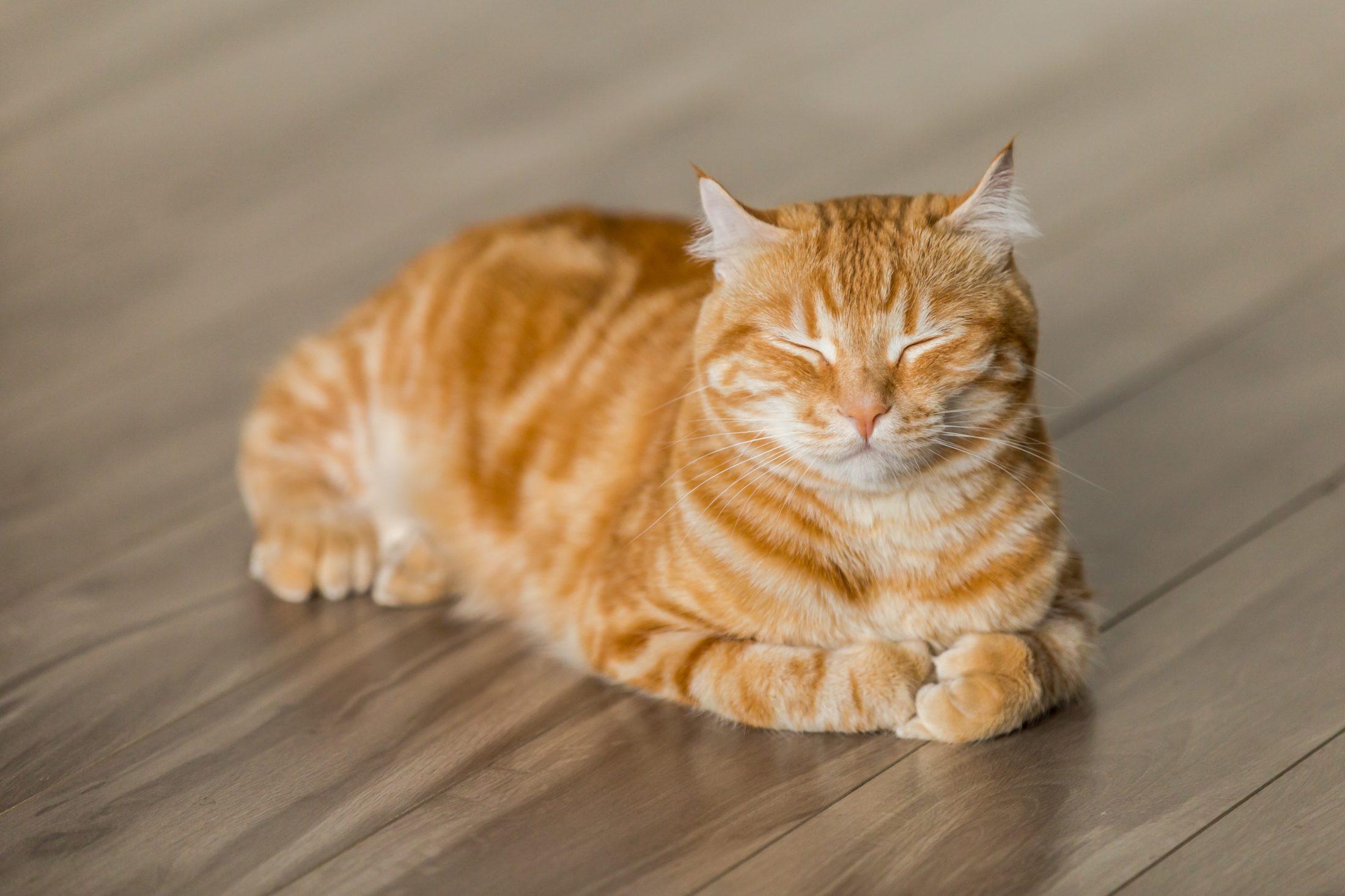 bichano amarelo deitado no chão esperando para tomar remedio de pulgas para gato