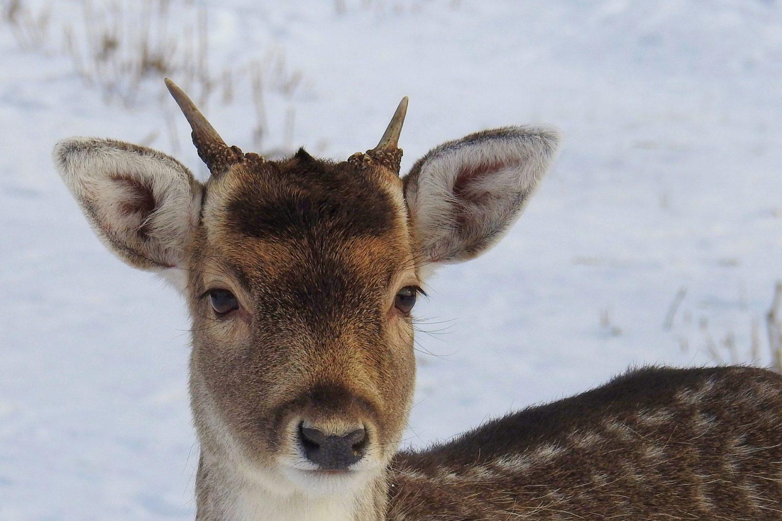 A rena tem a sua sobreviência ameaçada pela falta de alimento em condições climáticas drásticas.