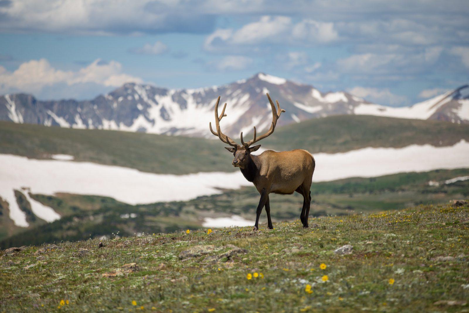 A rena é um animal ruminante que pasta e se alimenta de líquens.