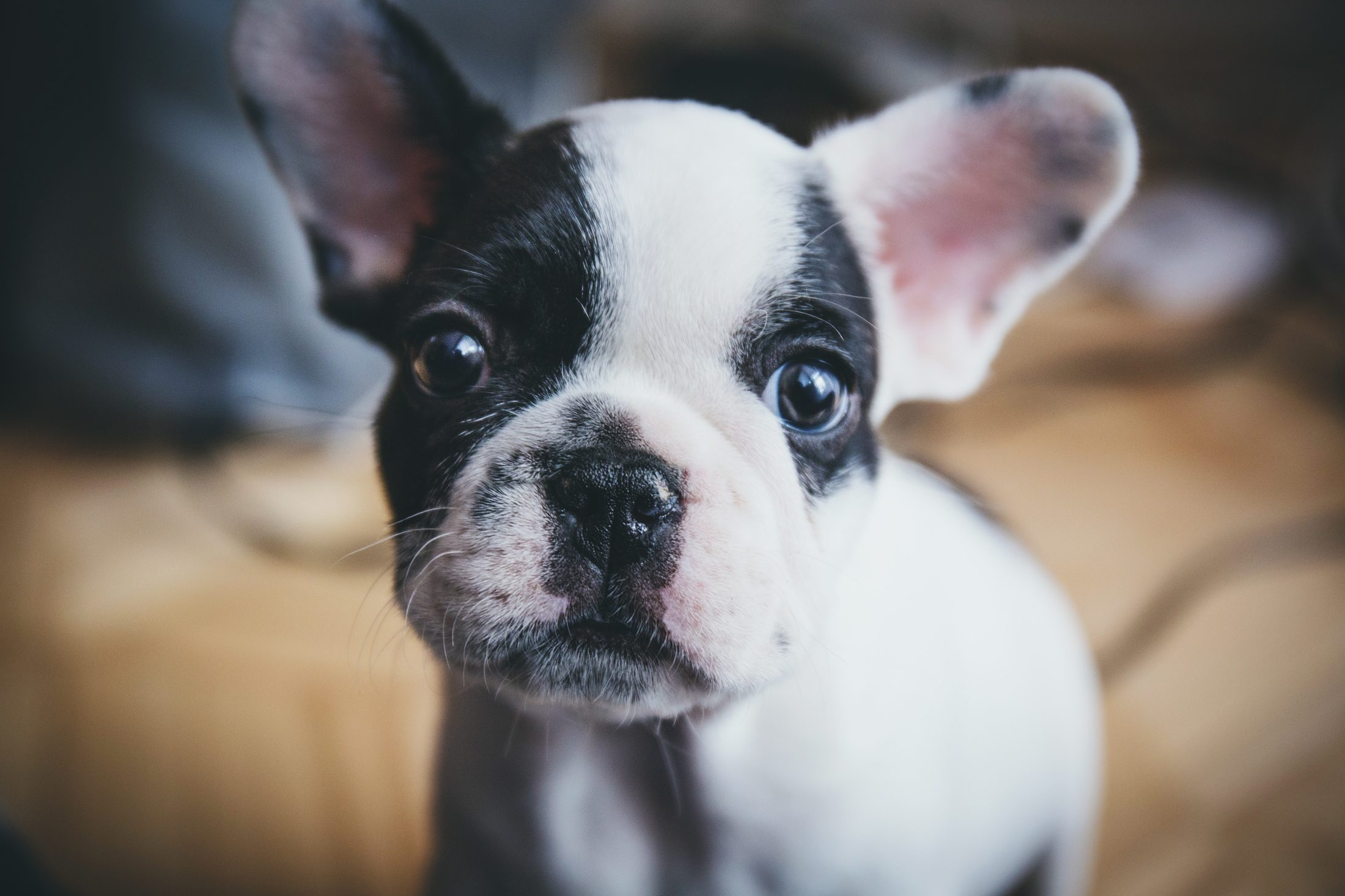 roubo de cachorro - buldogue frances