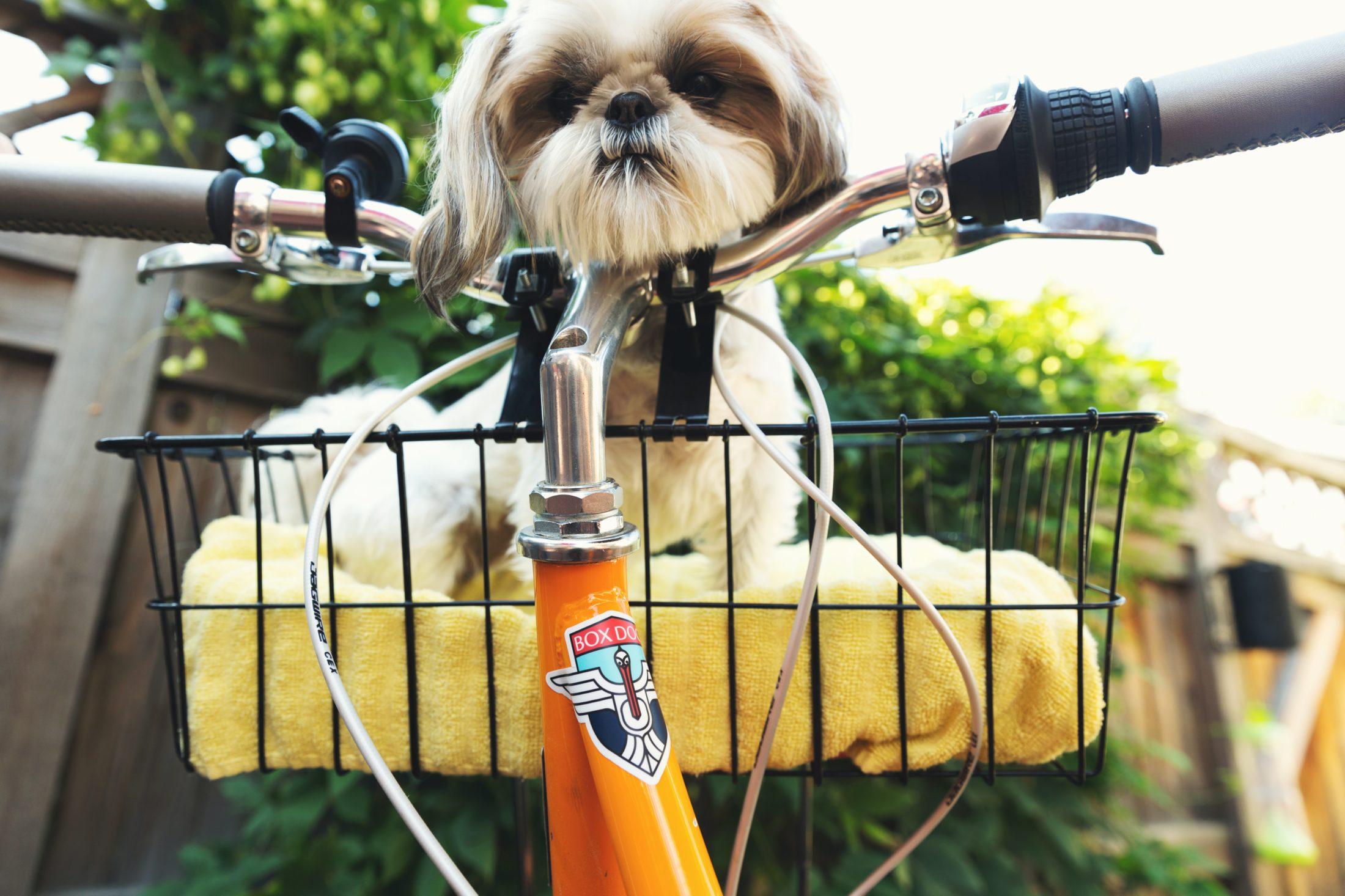 roubo de cachorro lhasa apso