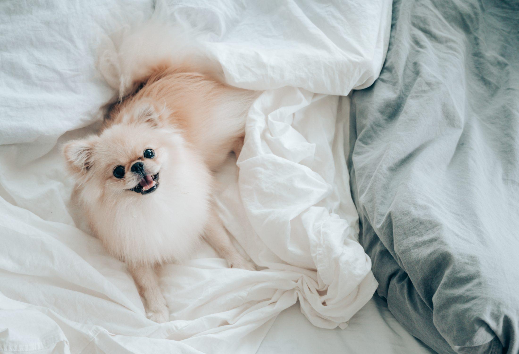 roubo de cachorro lulu