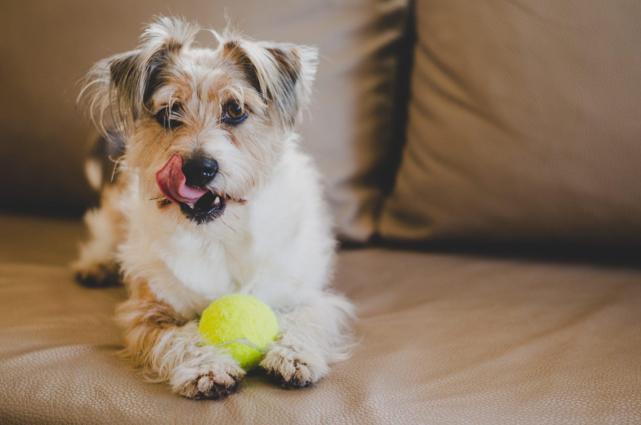 Para evitar o roubo do cachorro, nunca deixe-o sem supervisão.