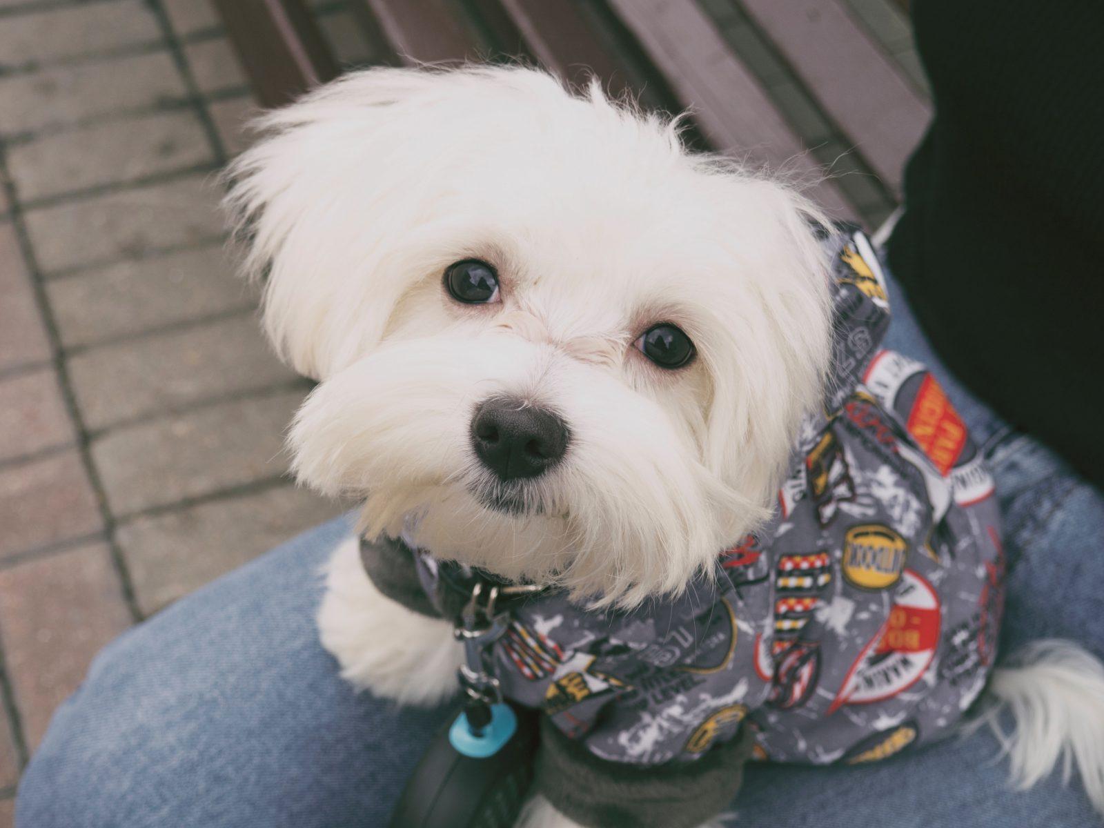 Roupa para cachorro: cachorrinho Maltês vestindo uma peça de roupa estampada bem estilosa.