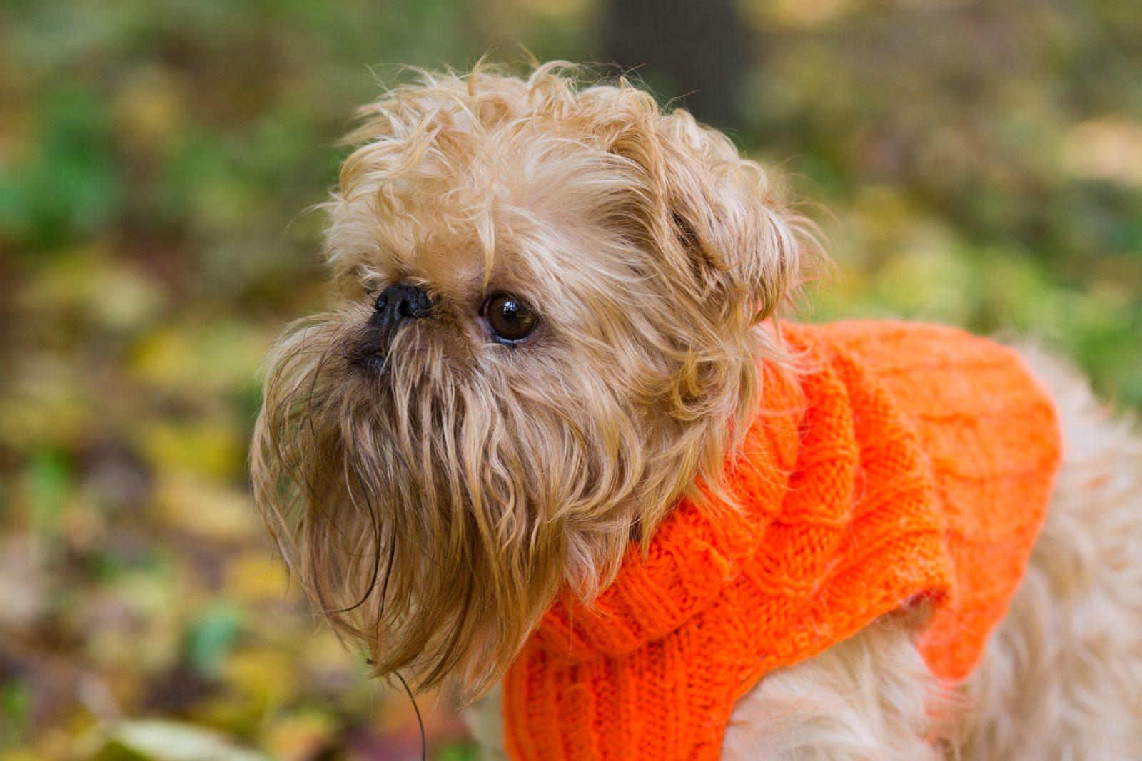 Roupa para cachorro: cachorro vestindo sweater de lã