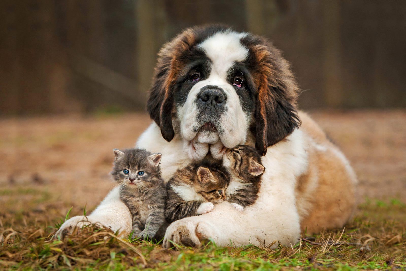 Os São Bernardos são cachorros que babam e salvam vidas.