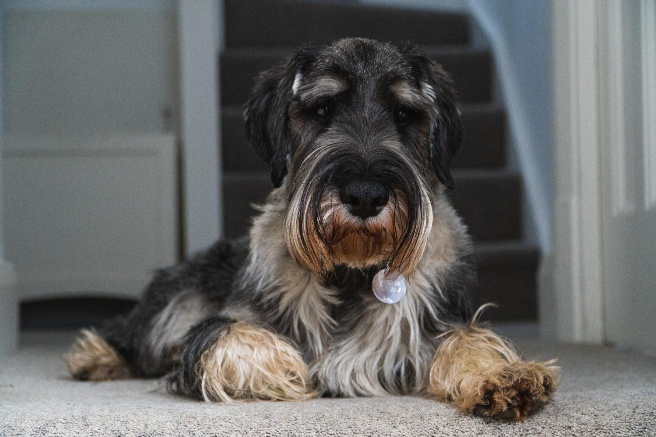 cachorro porte médio: schanuzer