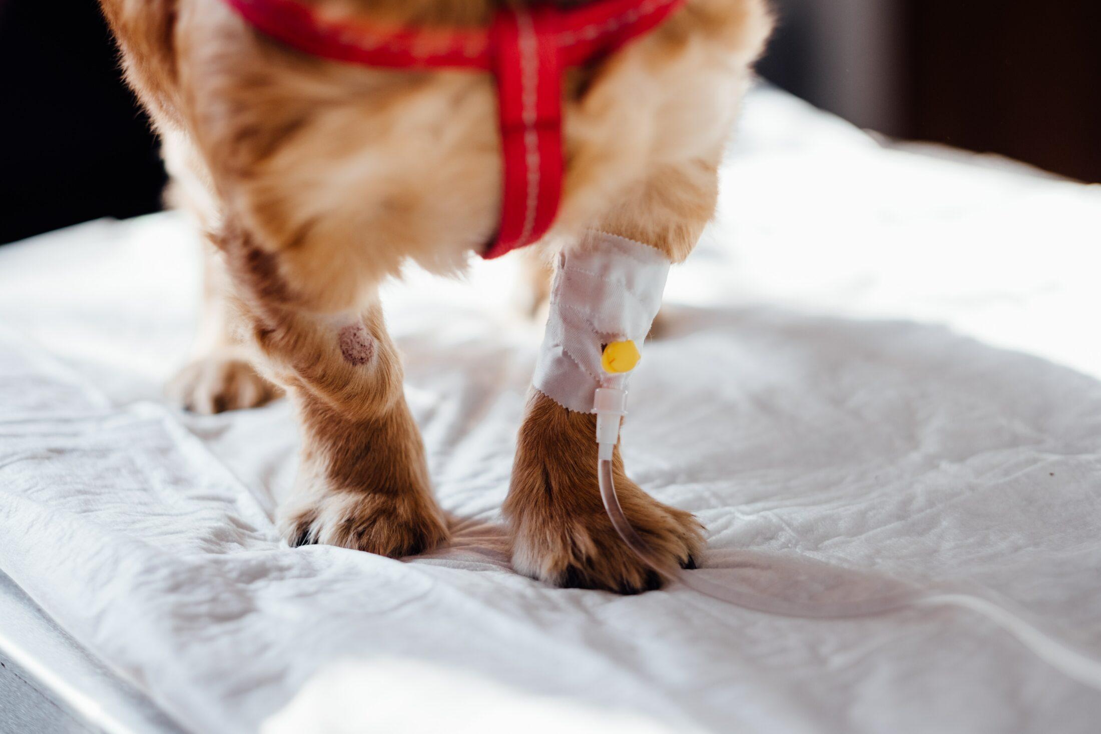 cachroro com curativo na pata após cirurgia cobert apor seguro pet barato