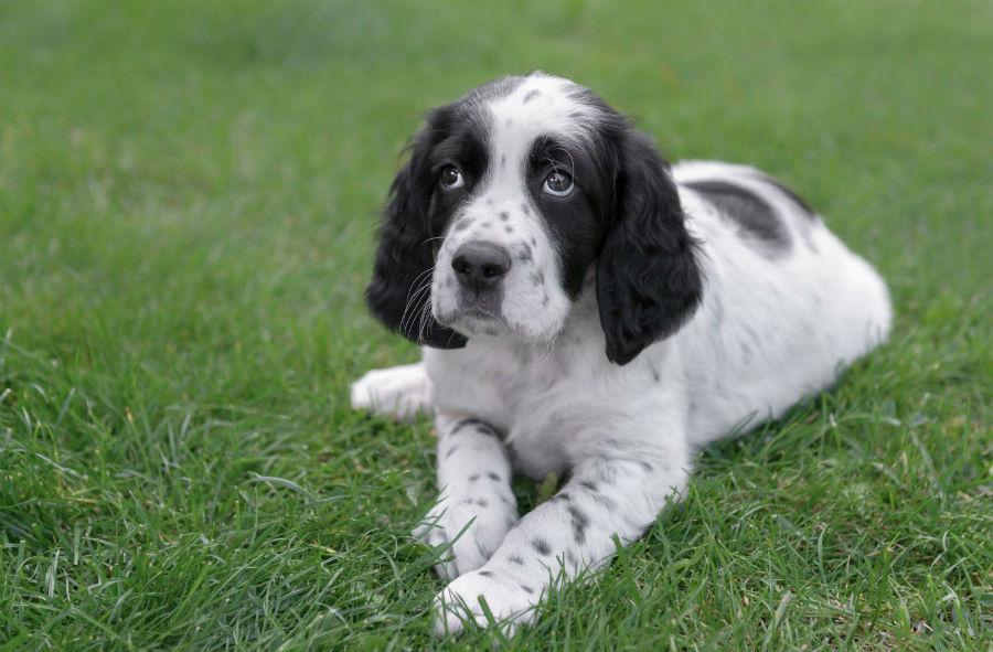 cachorro-setter-ingles-ambiente