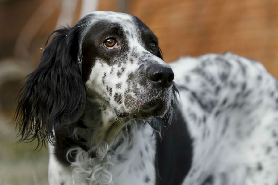 cachorro-setter-ingles-aparencia