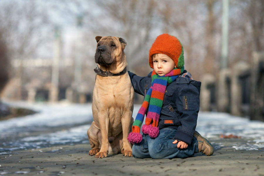 cachorro-sharpei-temperamento