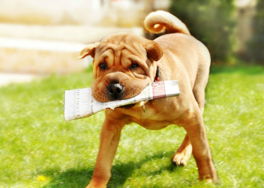 cachorro-sharpei-treinamento