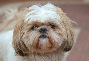 Raça de cachorro pequeno para idosos: Shih Tzu filhote e sua carinha de ursinho de pelúcia irresistível!