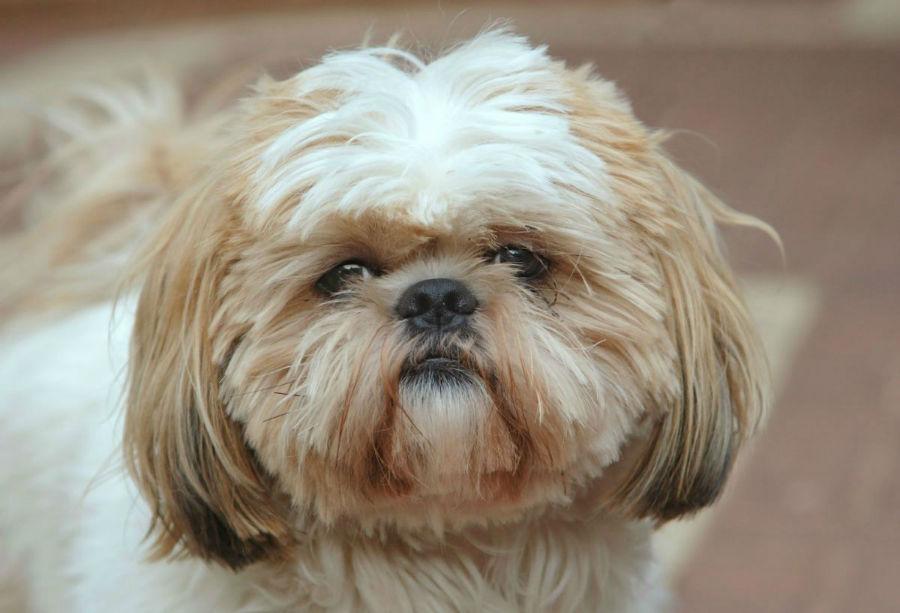cachorro-shitzu-origem