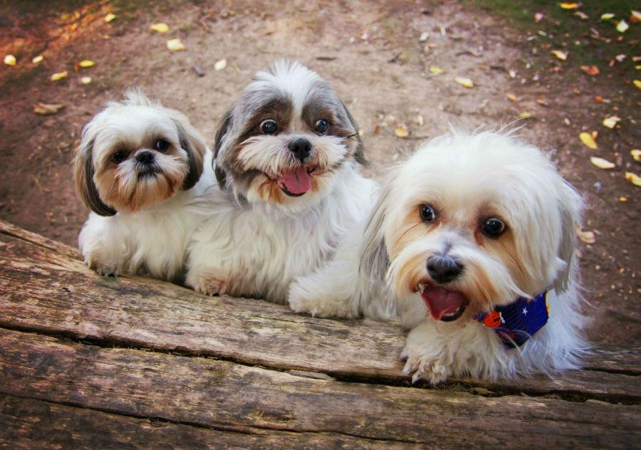 cachorro-shitzu-temperamento