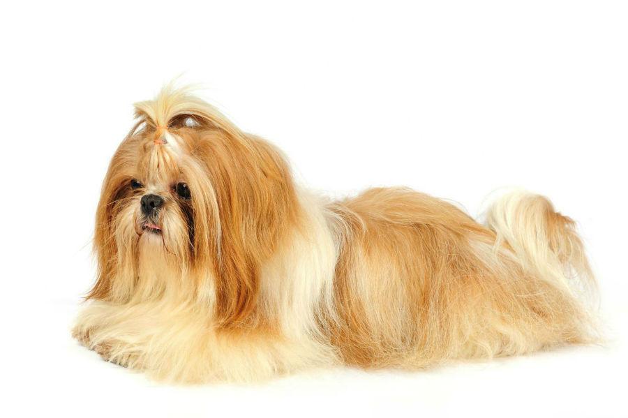 cachorro-shitzu-treinamento