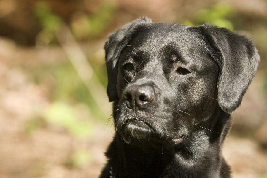 Cachorro idoso: Labrador retriever preto idoso.