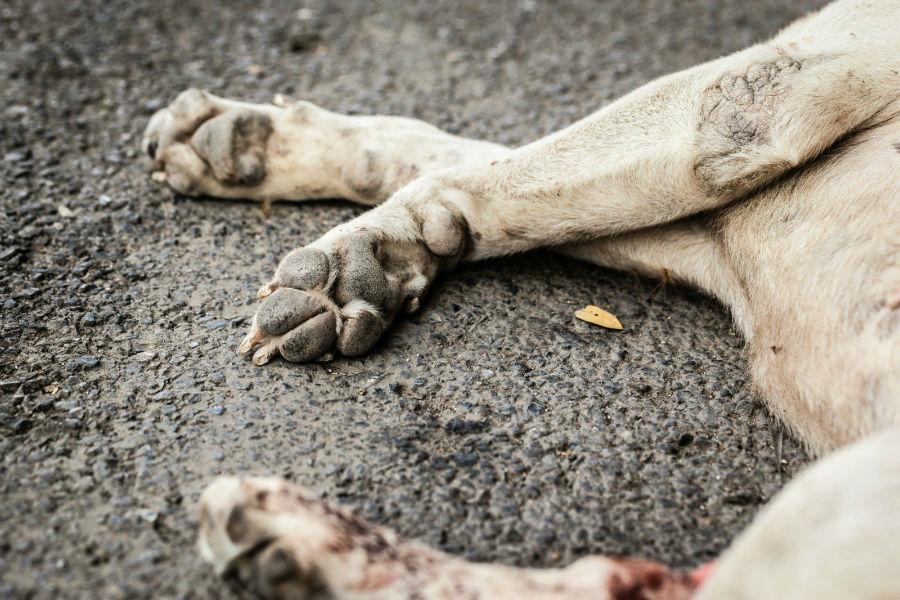 Cachorro idoso: cão deitado com patas já cheias de calos