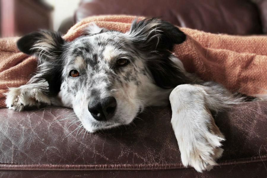 Cachorro idoso: Pastor Australiano idoso deitado no sofá todo coberto por causa do frio