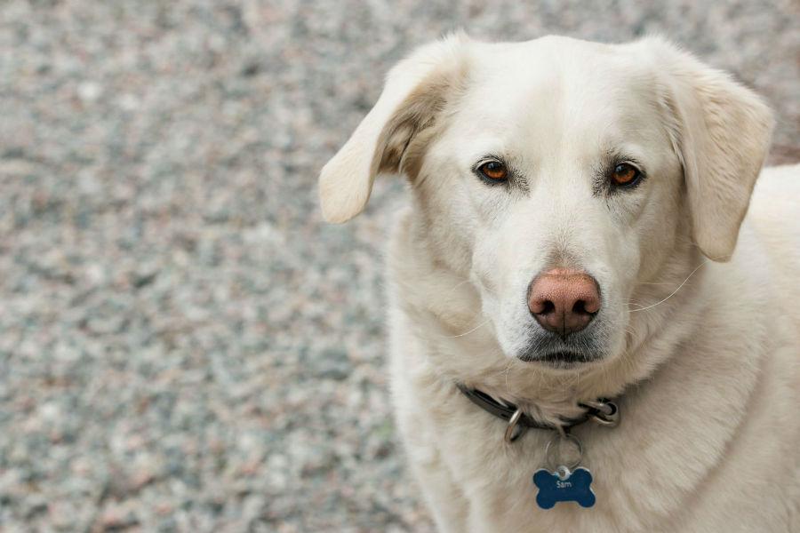Cachorro idoso: Labrador retriever branco já idoso.