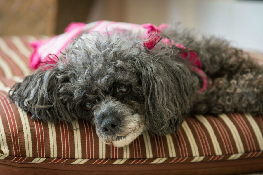Caminha de cachorro: Poodle fêmea já idosa deitada na sua almofada descansando.